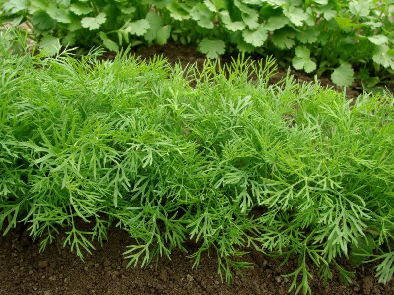 Выращивание зелени в открытом грунте