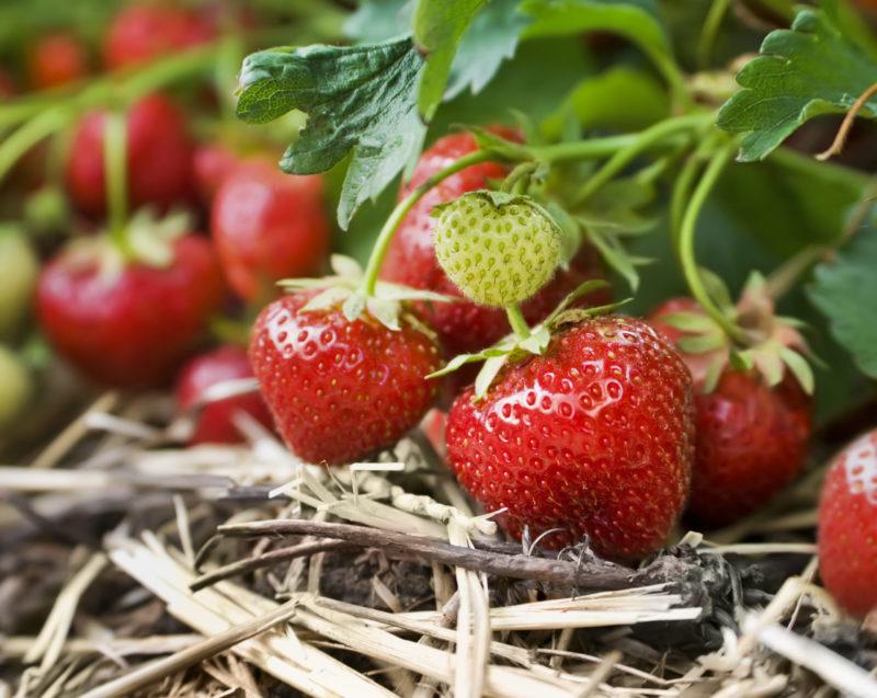 Подкормка клубники - обеспечиваем хороший урожай