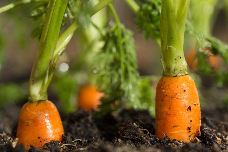 Посадка моркови весной в открытый грунт – закладываем большой урожай