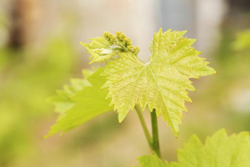 Ускорение созревания лозы и ягод винограда