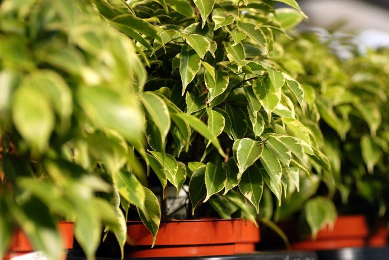 Особенности выращивания фикуса Бенджамина