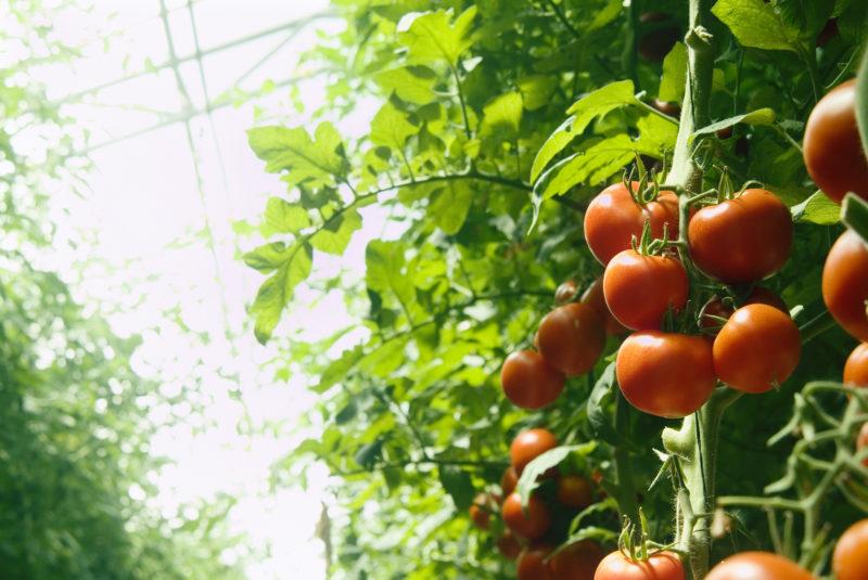 Полив помидоров в теплице – регулярный полив по правилам