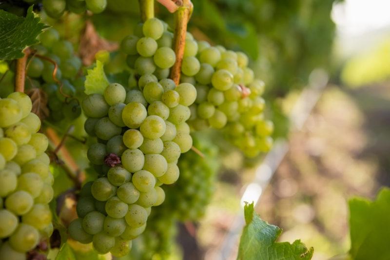 Подкормка винограда весной – беспроигрышные варианты