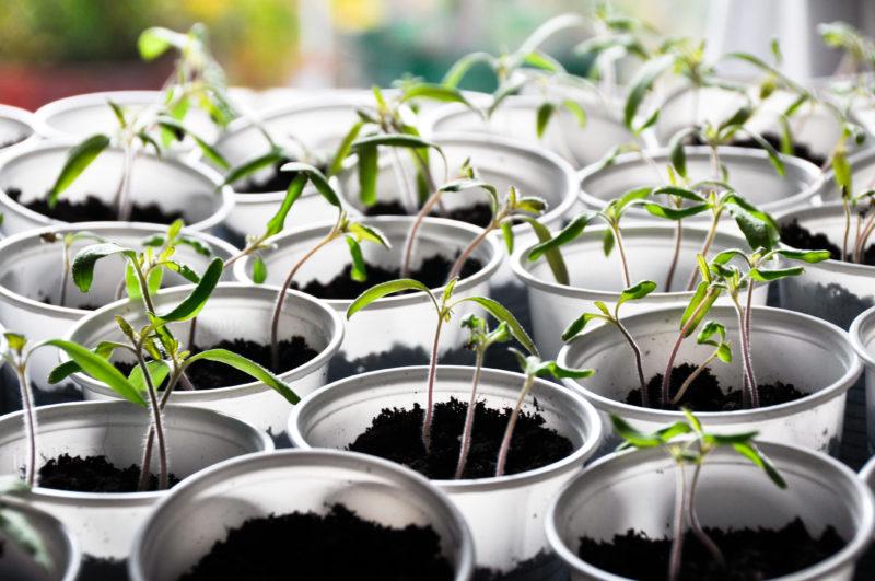 Посадка семян томатов на рассаду – особенности подготовки и способы