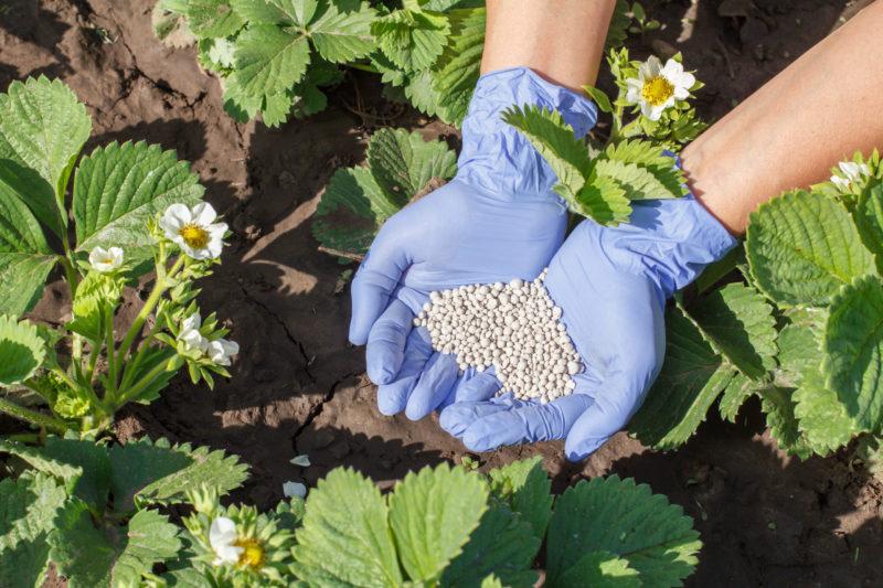 Использование удобрений для клубники осенью