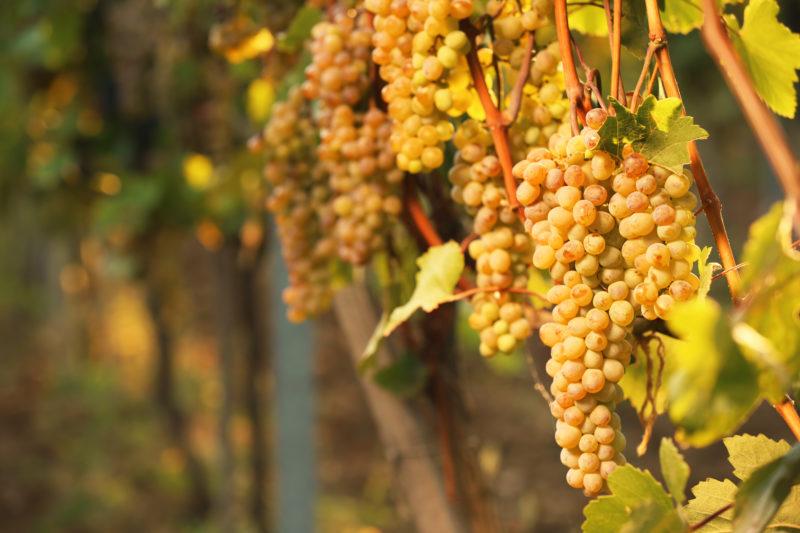 Как проходит обработка винограда осенью от болезней?