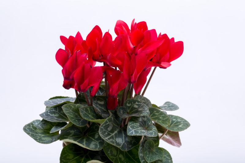 Выращивание цикламена в домашних условиях и уход за ним: как выбрать, правильно посадить и вырастить растение