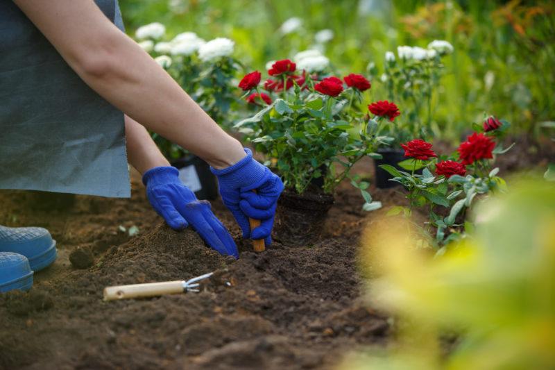 Посадка роз весной в грунт – подготовка почвы и высадка