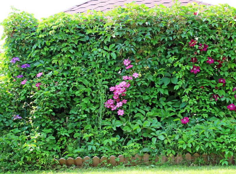 Посадка клематисов весной, а также высадка в любое время года