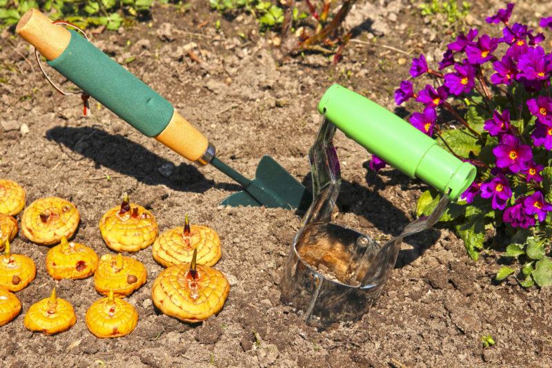 Как сажать гладиолусы весной – правильная посадка цветов