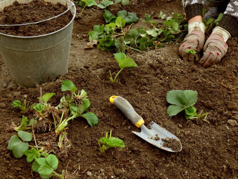 Выращивание клубники в открытом грунте – азы для новичков