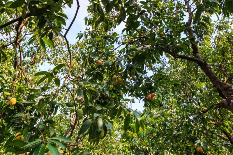 Обрезка молодого персика весной – формирование кроны
