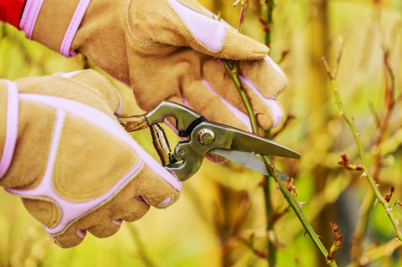 Как вырастить розы из черенков купленных цветов или подаренного букета