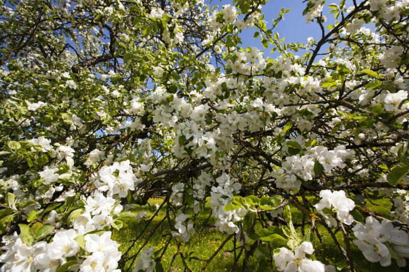 Подкормка яблонь весной – правила подкормки молодых деревьев