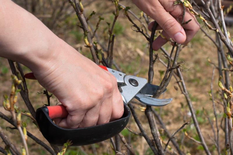 Обрезка смородины ранней весной – проверенные методы
