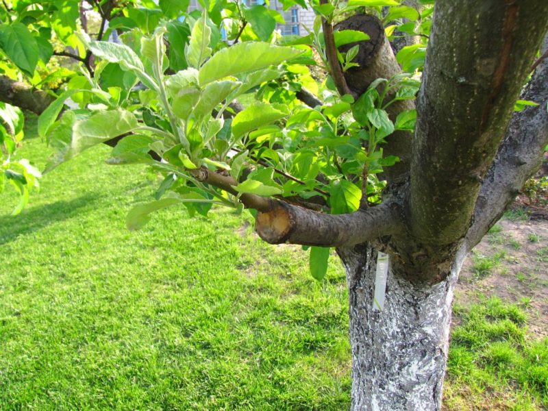 Сроки прививки деревьев – как не пропустить время черенкования?