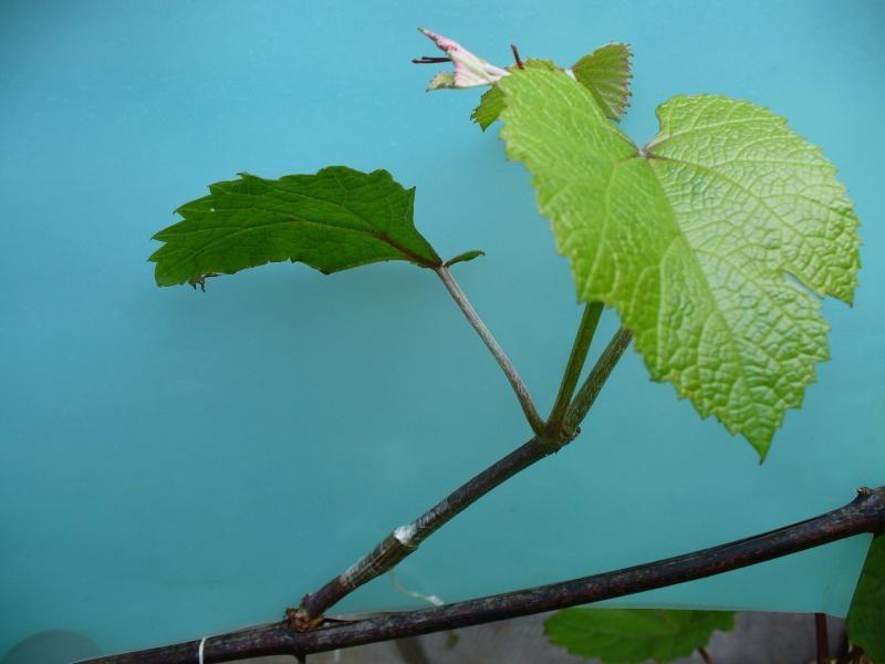Прививка винограда на старый куст – это может даже новичок