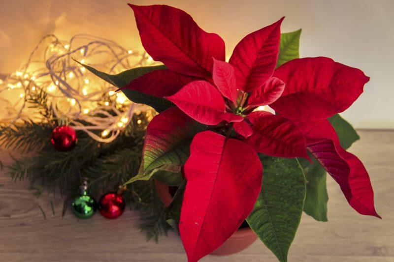 Уход за цветком Рождественская звезда. Пересадка растения