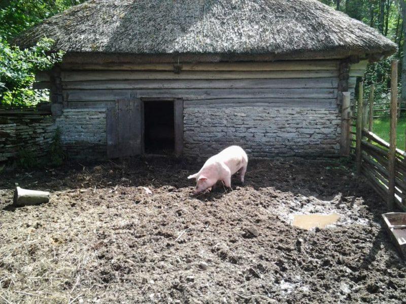 Узнаем, как сделать сарай для свиней самостоятельно – инструкции