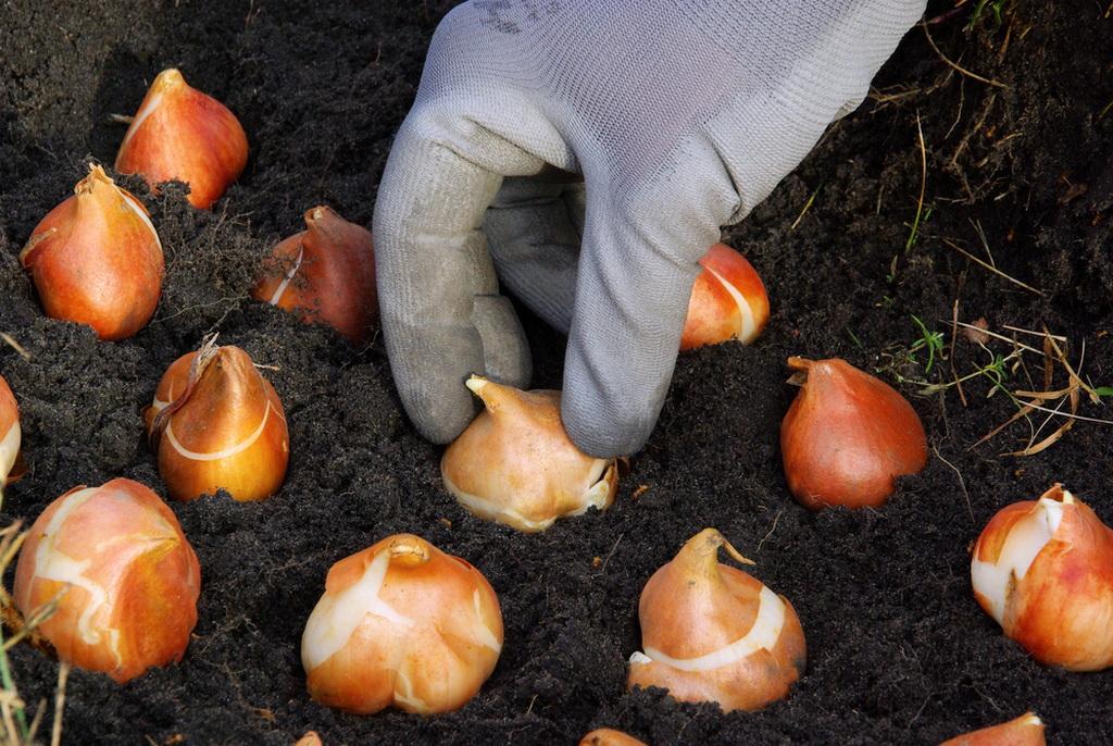 Можно ли сажать тюльпаны весной: сроки, подготовка, рекомендации по уходу