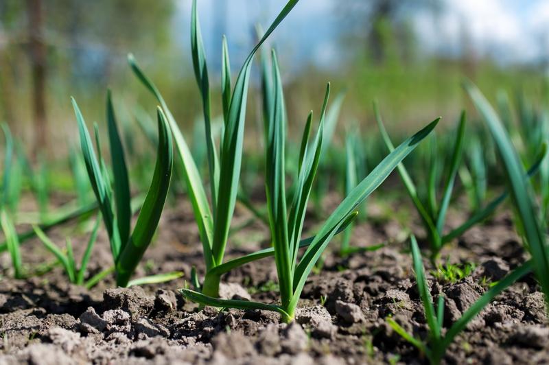 Выращивание чеснока из бульбочек – инструкция как вырастить из семян