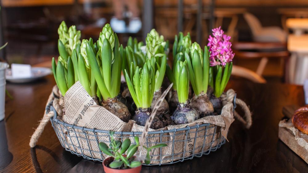 Посадка гиацинтов весной. Правила высадки в открытый грунт
