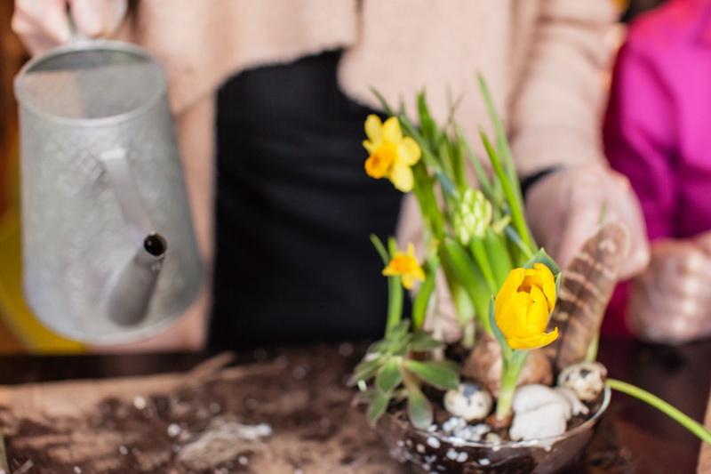 Можно ли сажать нарциссы весной - проверенный способ