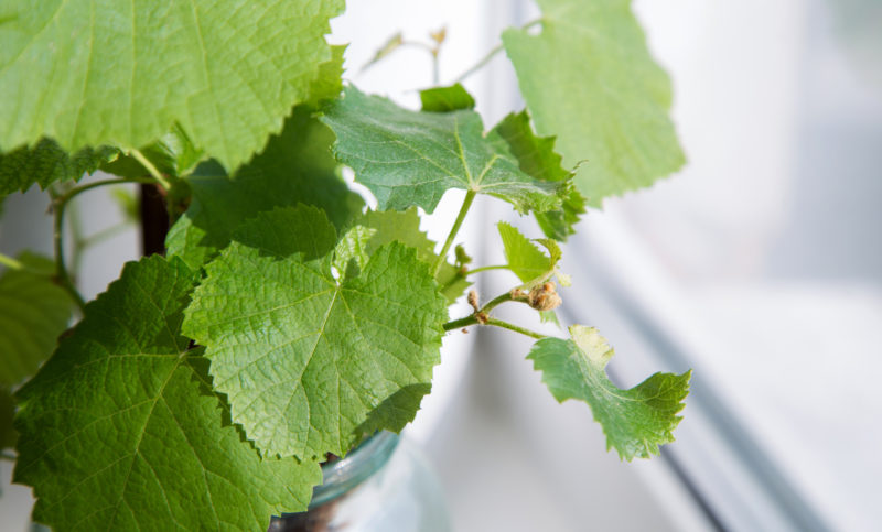 Посадка саженцев винограда – советы и рекомендации