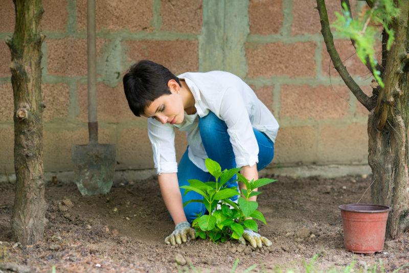 Посадка гортензии весной – украшаем сад буйным цветом