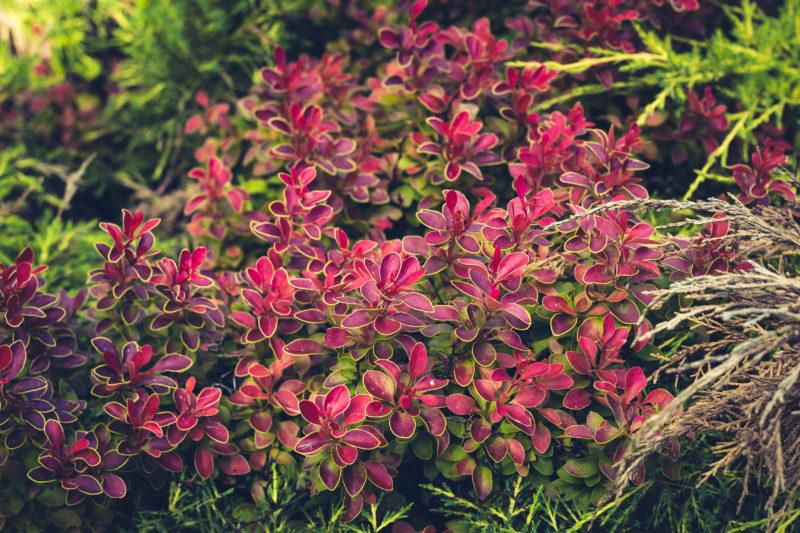 Какие кустарники для живой изгороди быстрорастущие выбрать?