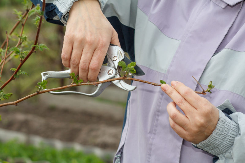 Обрезка малины весной - инструкции для начинающих