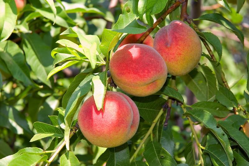 Обработка персика весной – меры по спасению урожая
