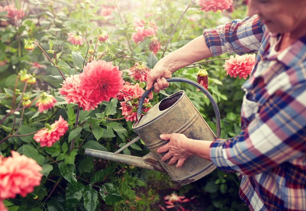 Посадка георгинов весной - королевским цветам королевский уход