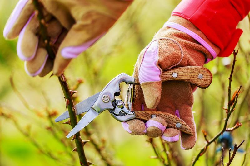 Обрезка роз весной: подсказки профессионалов