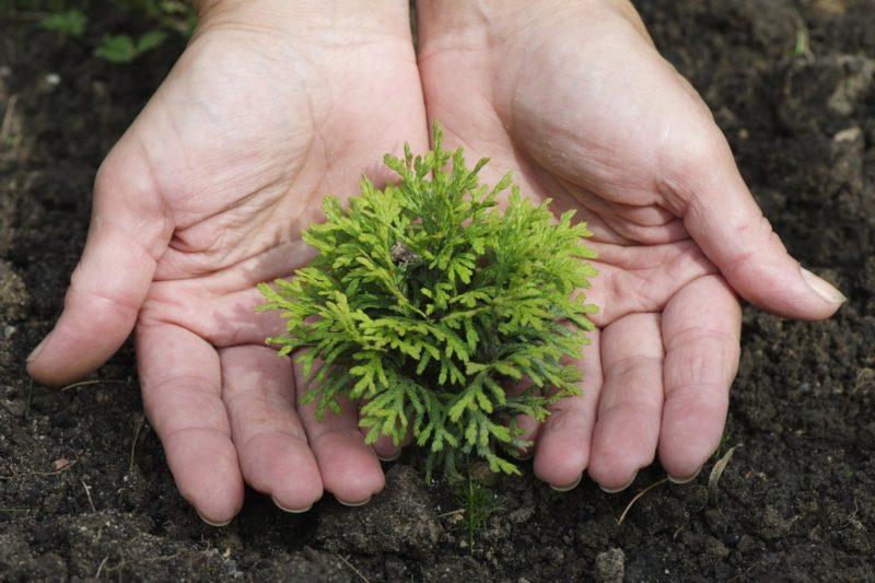 Размножение хвойных растений черенками и их укоренение