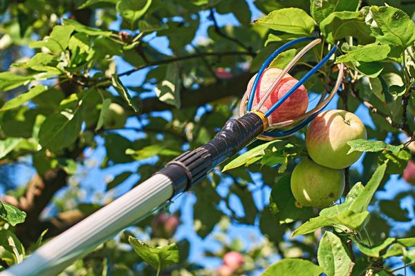 Приспособление для сбора яблок - когда садовод становится инженером