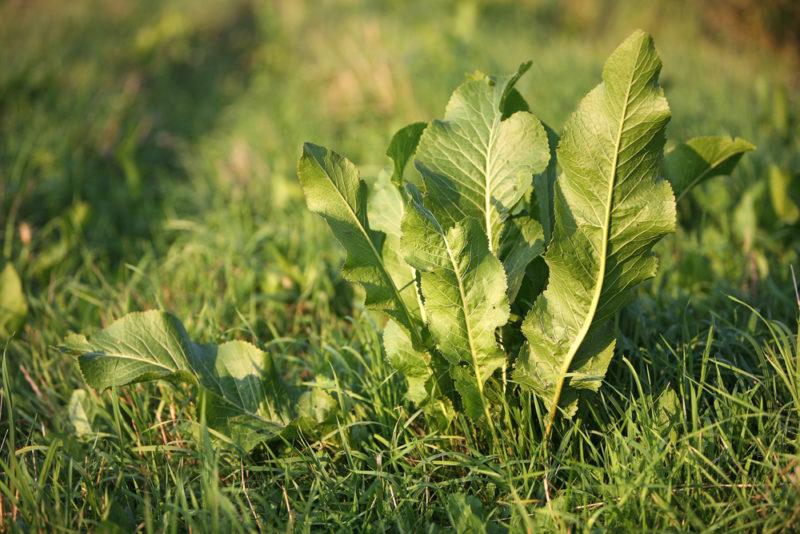 Как вывести хрен с огорода - методы борьбы с растением