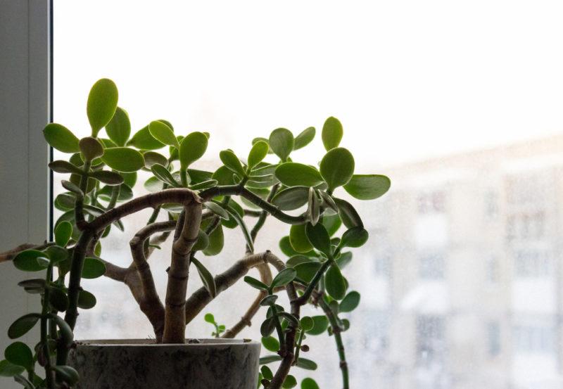 Комнатный цветок толстянка - какой уход любит денежное дерево
