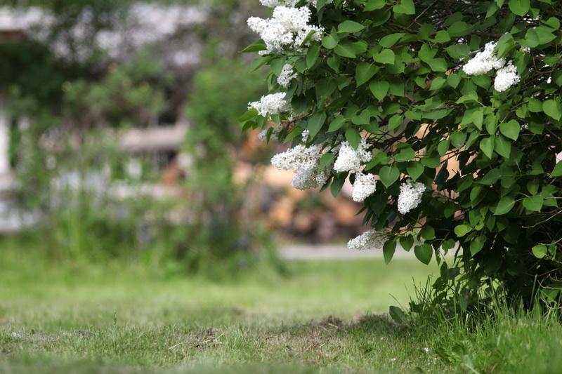 Посадка сирени весной и грамотный уход за кустами