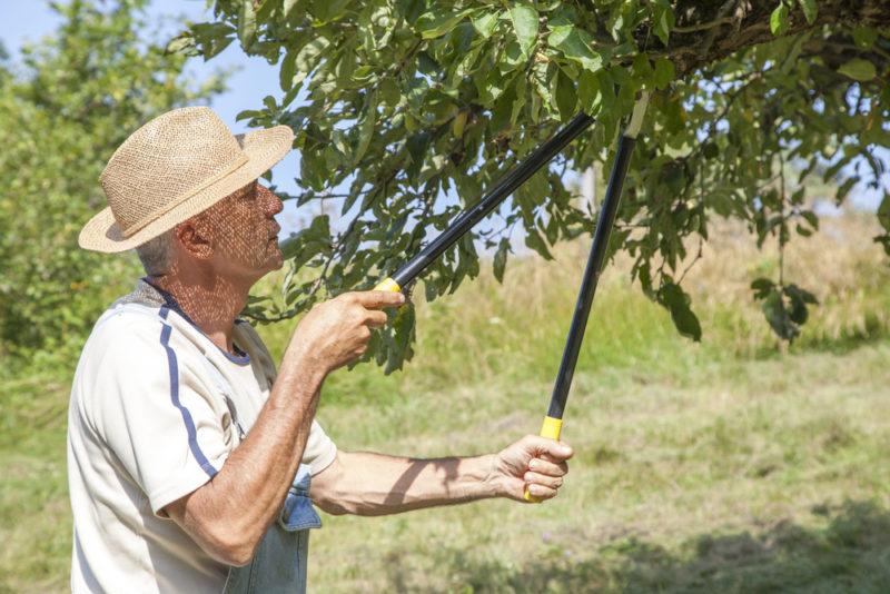 Обрезка плодовых деревьев летом - как не навредить