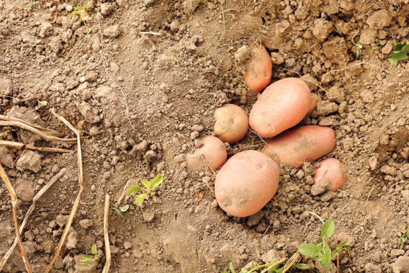 Картофель сорта Беллароза: описание и преимущества