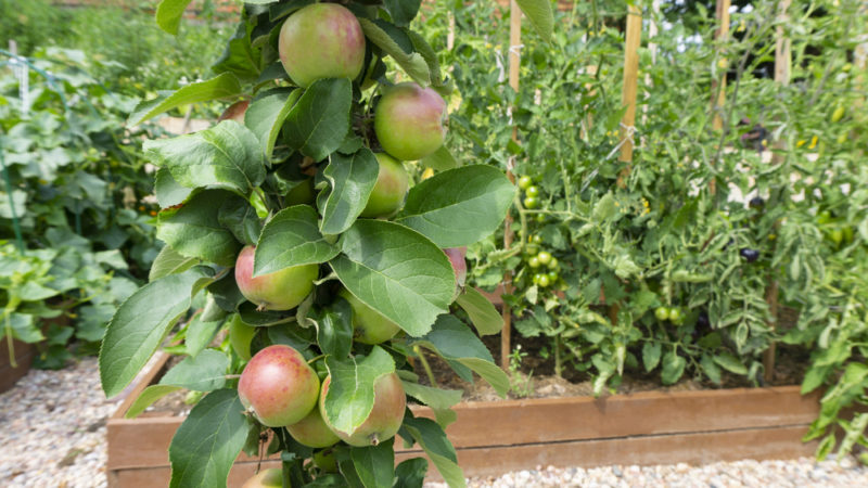 Колоновидные яблони - обрезка кроны в борьбе за урожай
