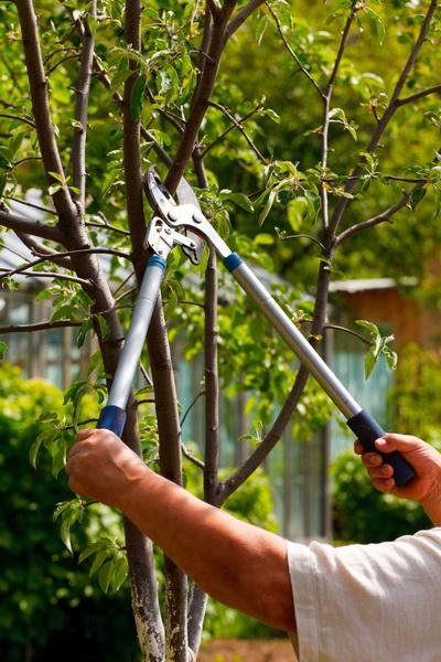 Обрезка плодовых деревьев весной - делимся секретами