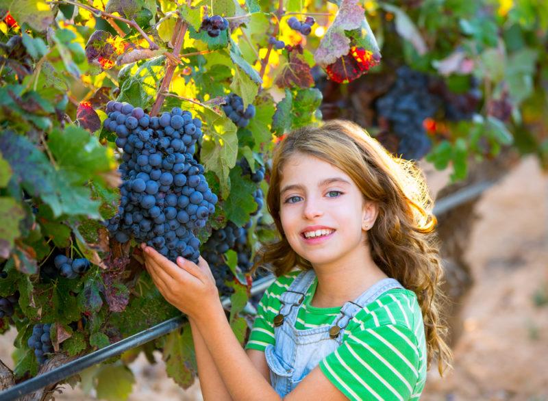 Сахаристость винограда по сортам: от чего это зависит