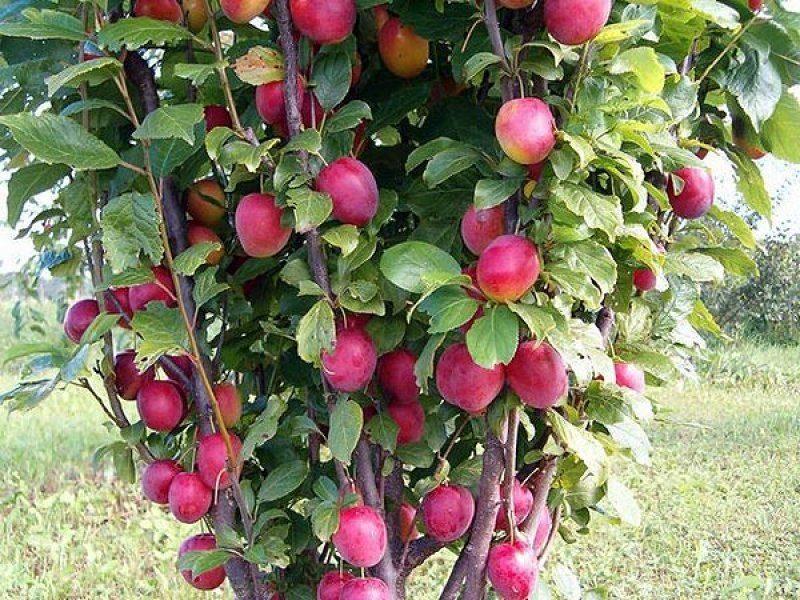 Колоновидные плодовые деревья: выращиваем сливу