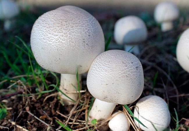 Выращивание шампиньонов в открытом грунте - экзотика на даче