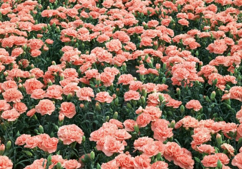 Гвоздика Шабо - как выращивать этот цветок и ухаживать за ним