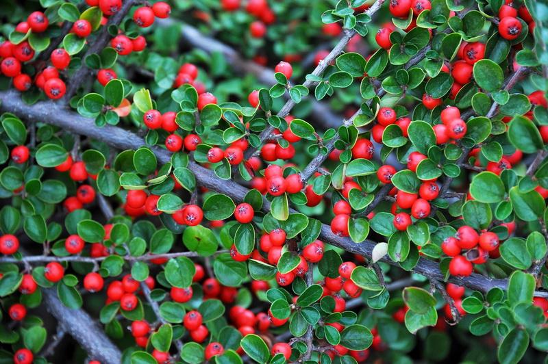 Вечнозеленая живая изгородь - какие растения выбрать