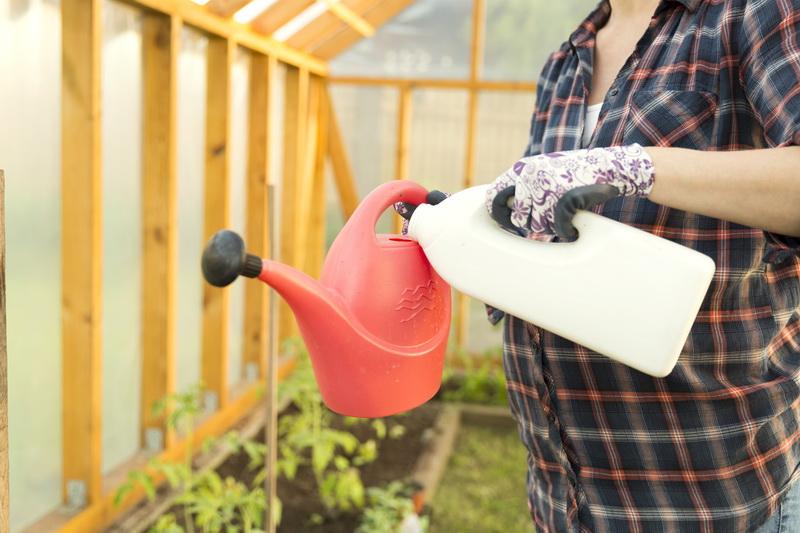 Чтобы помидоры лучше завязались, подкормите их простыми народными средствами