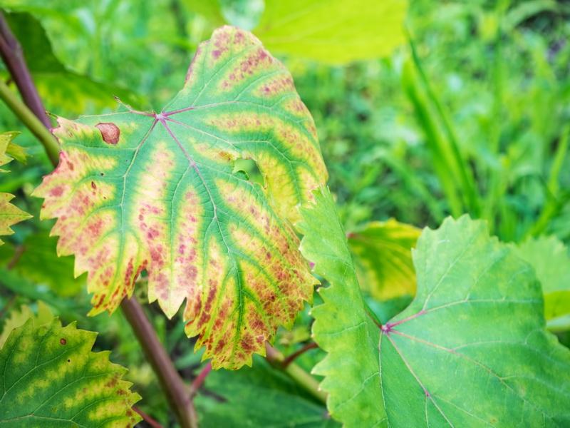 Антракноз винограда - лечение и профилактика опасного грибка